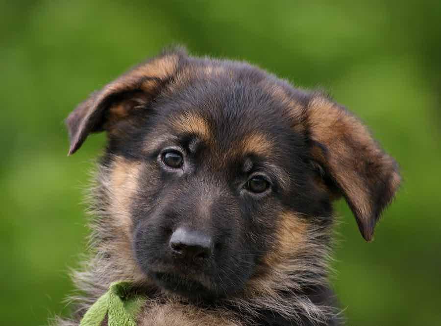Cute Baby Bulldog Wallpaper Top 8 Super Cute And Adorable German Shepherd Puppies You