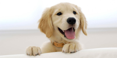 Cute Yorkshire Terrier Puppies Wallpaper Top 6 Smiling Labrador Pups Who Re Going To Cheer You Up