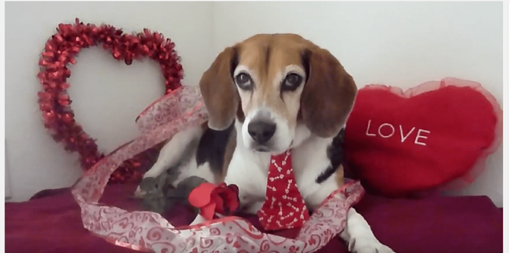 This Cute Beagle Is Ready For A Valentines Day