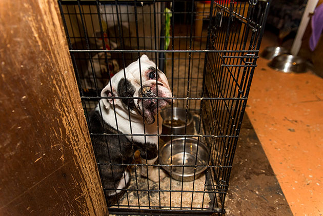 ASPCA Rescues 50 Dogs Including French And English