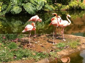 Zoo Flamingo