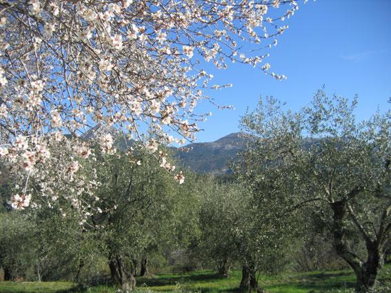 Printemps sur l'oliveraie