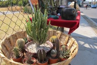 Many lovely cactus