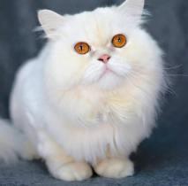 george white persian cat Muscat Oman