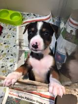 puppies for adoption not for sale muscat oman