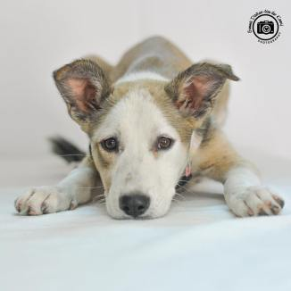 sia oman dog pet adoption.jpg1