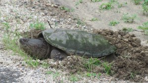 Snapping Turtle By Pat Grace , 2014