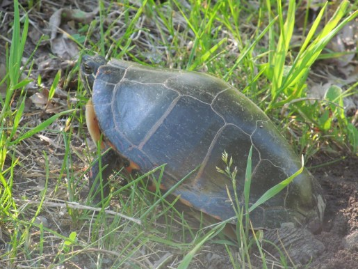 Nesting Painted Turtle courtesy Wendy Baggs