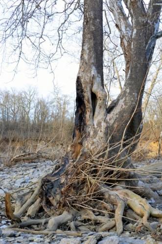 knarled tree_carter park
