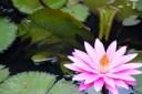 Bloomed lotus