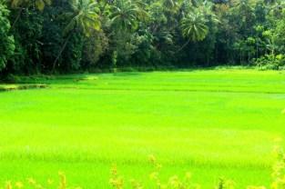 Rice Paddy Farms