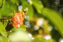 Flower of Kailashpati Tree