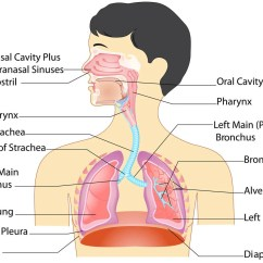 Diagram Of The Nose And Its Functions 2016 Dodge Ram 3500 Trailer Wiring Anatomy Respiratory System