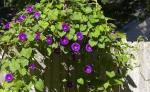 La finta giardiniera ... (VIII)