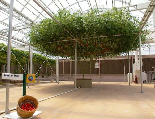 Rosii Epcot  Tomatotree