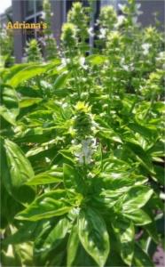 Basil flowering