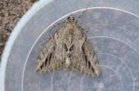 Moths  A Dartmoor blog