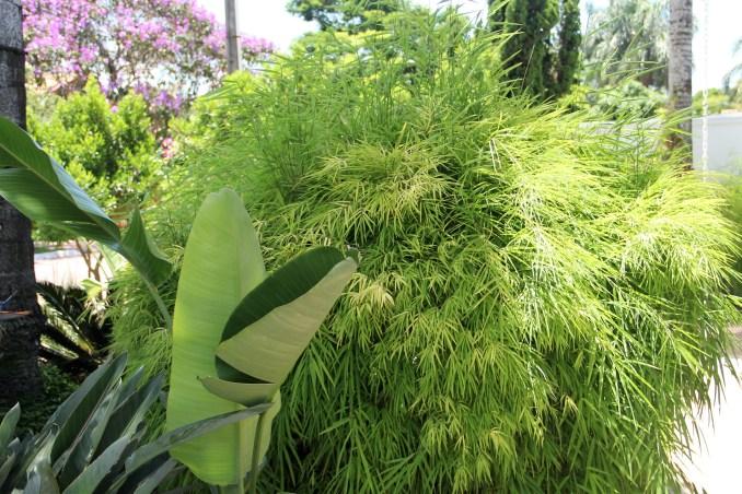 Bamboo Vinhedo