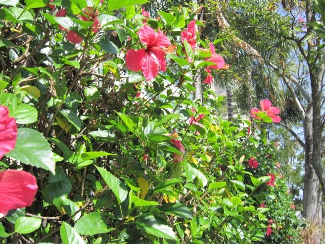 adriano-gronard-hibisco-cerca-viva-rosa-flores-paisagismo