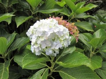 adriano-gronard-hortensia