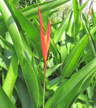 heliconia-adriano-gronard-paisagismo-zoom