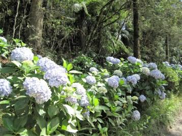 hortensia-mata-atlantica-adriano-gronard-paisagismo-mantiqueira