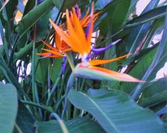strelitzia-detalhe-adriano-gronard-paisagismo-decor-decoração-flores-flor