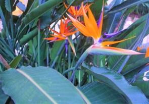 strelitzia-zoom-adriano-gronard-paisagismo-arquitetura-plantas