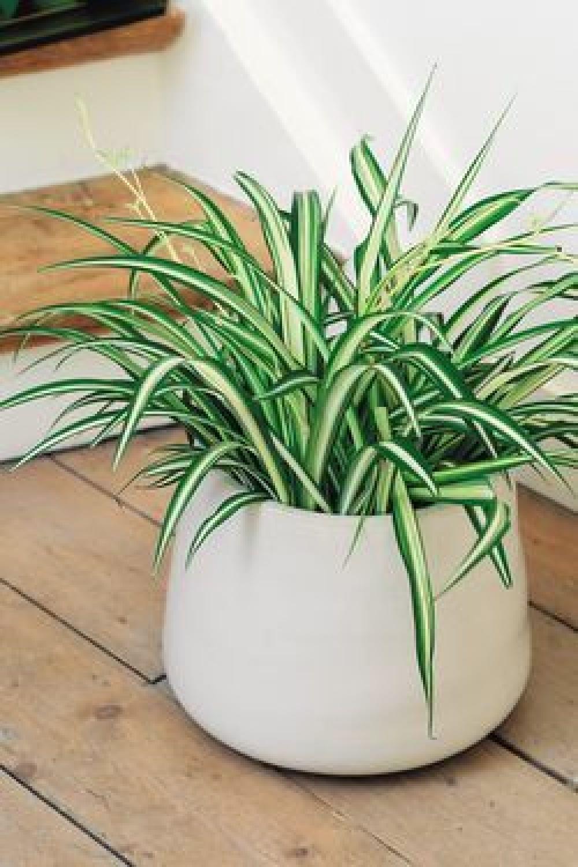 O clorofito é uma planta TOP para purificar o ar. Utilizá-lo no seu quarto ajuda a melhorar a qualidade do sono, devido à grande produção de oxigênio. Imagem: joelbruffin.typepad.fr