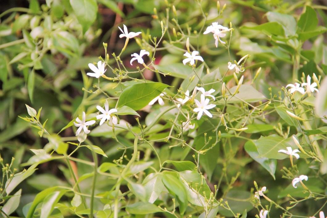 Zoom de jasmim estrela com destaque para suas flores. O jasmim dos Açores e o jasmim dos poetas têm flores e essência muito semelhantes. Imagem e paisagismo: Adriano Gronard