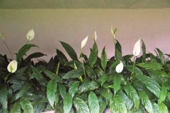 lírio-da-paz-adriano-gronard-arquitetura-paisagismo-flores-flor