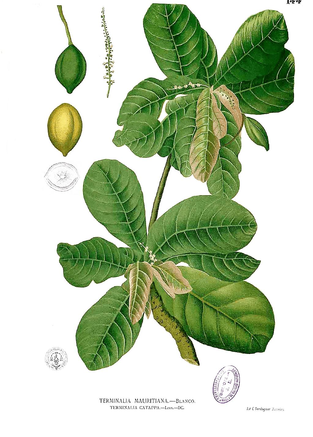 Ilustração botânica da amendoeira-da-praia, também conhecida como castanheira ou castanola. Imagem: Francisco Manuel Blanco