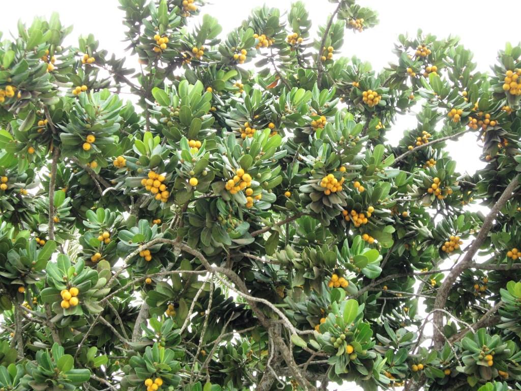 Amendoeira carregada de frutos na orla do Guarujá-SP. Os frutos dão um colorido à árvore. Após a frutificação, a árvore ganha um novo colorido: o do outono, como vemos em outras fotos da matéria. Imagem: Adriano Gronard