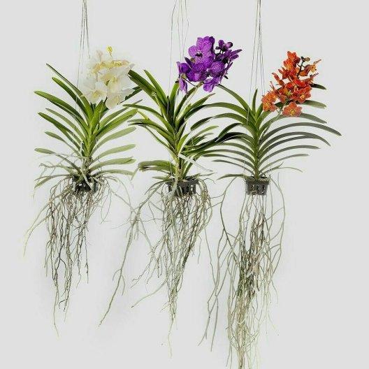 Orquídeas Wanda penduradas e com raízes expostas
