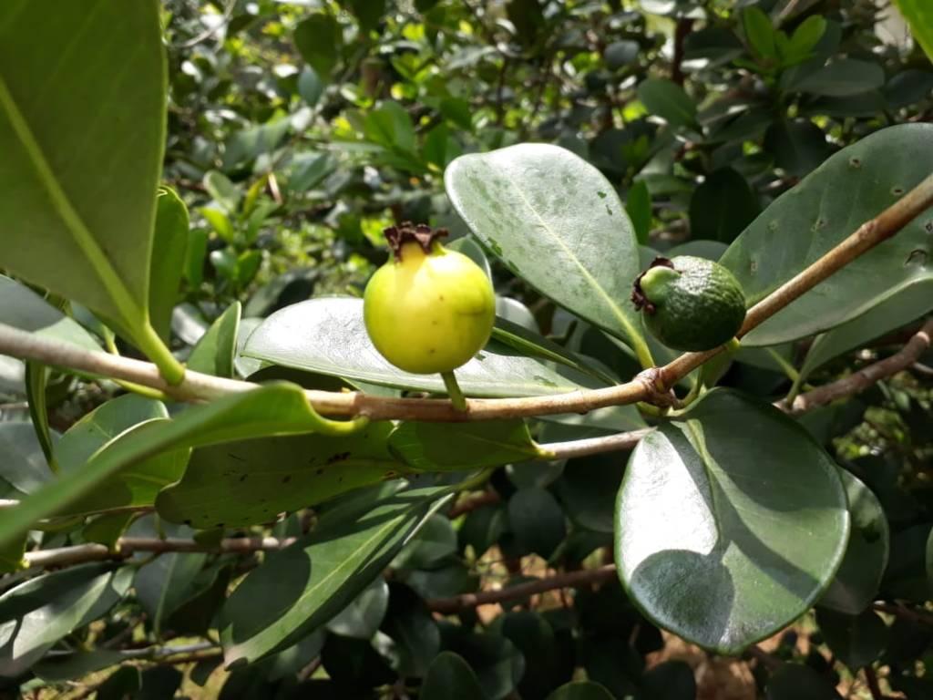 Araçá frutificando. Imagem: Adriano Gronard Paisagismo