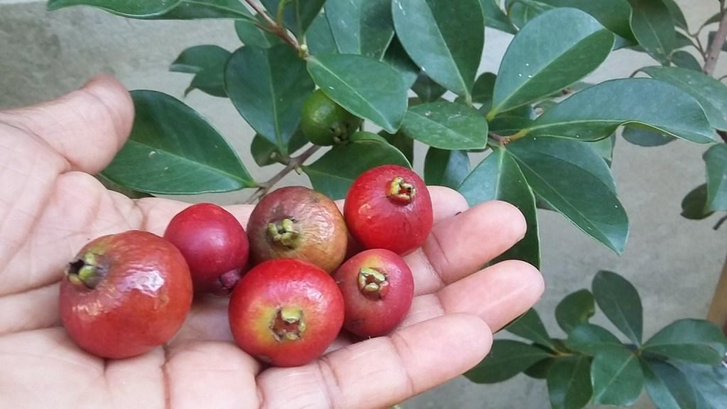 Foto de araçá vermelho . As frutas dentro do palmo da mão dão melhor noção do tamanho da fruta. Imagem: Adoro Plantar