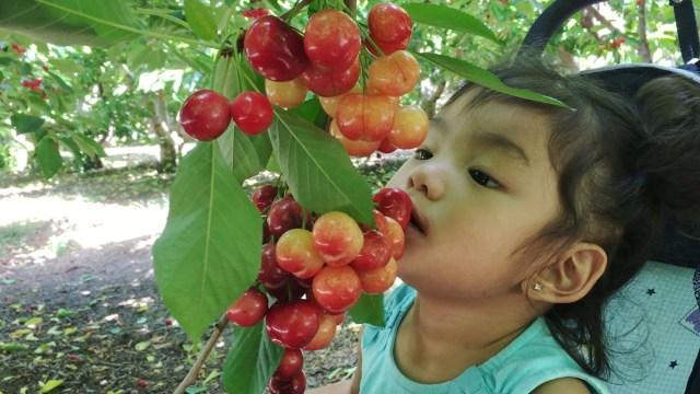 Cura cu cireșe