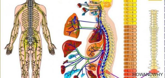Coloana vertebrala și organele
