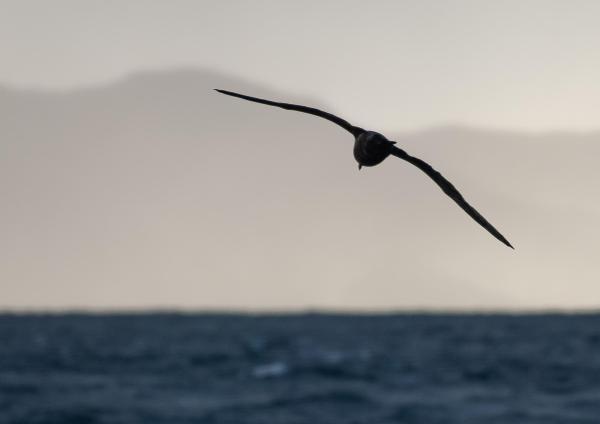 Wandering Albatross Southern Ocean Chile