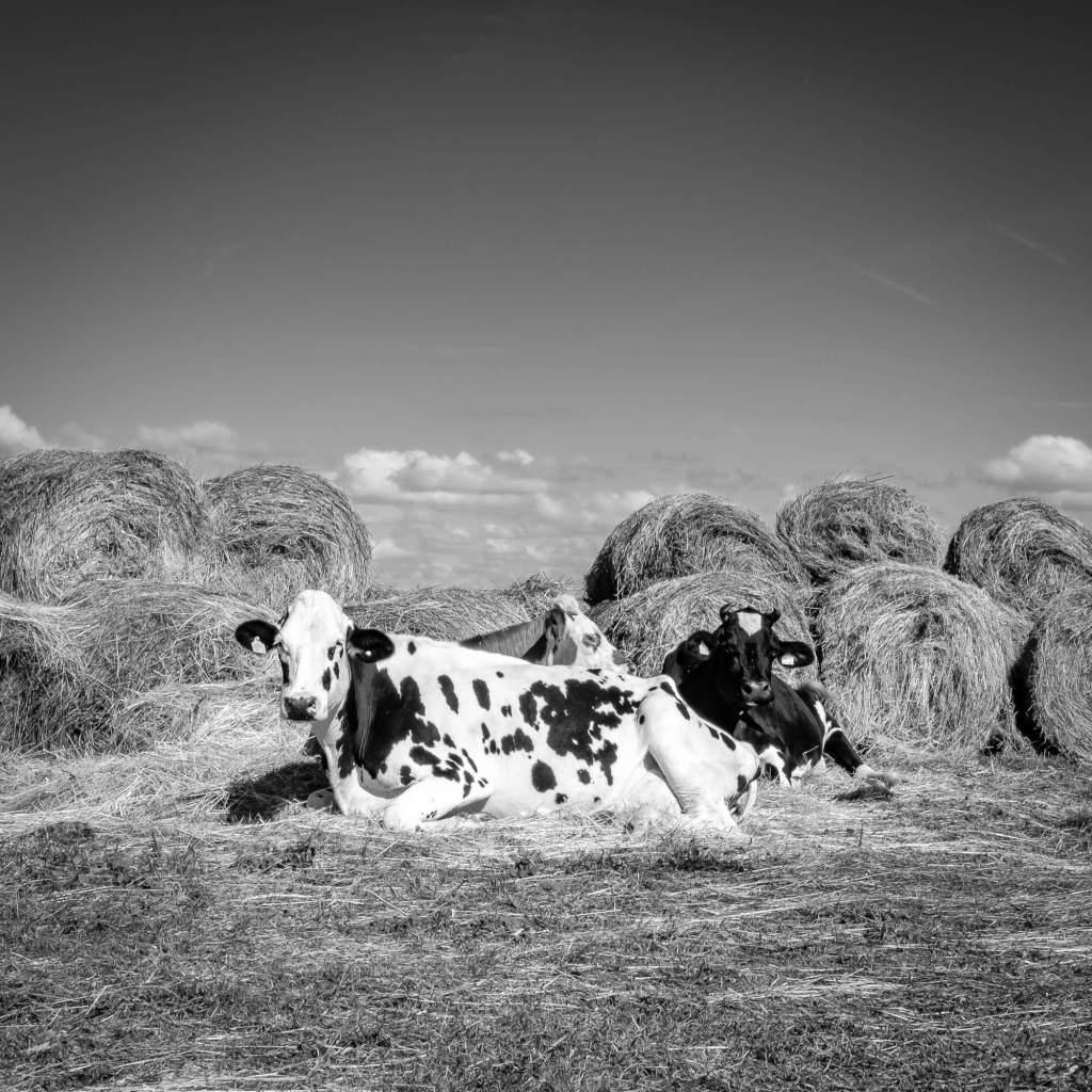 Vaches relaxantes - Ile de Ré.