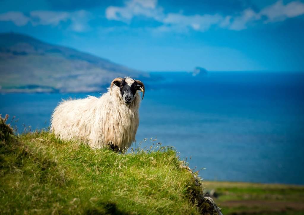 Sheep Hillside Allihies West Cork