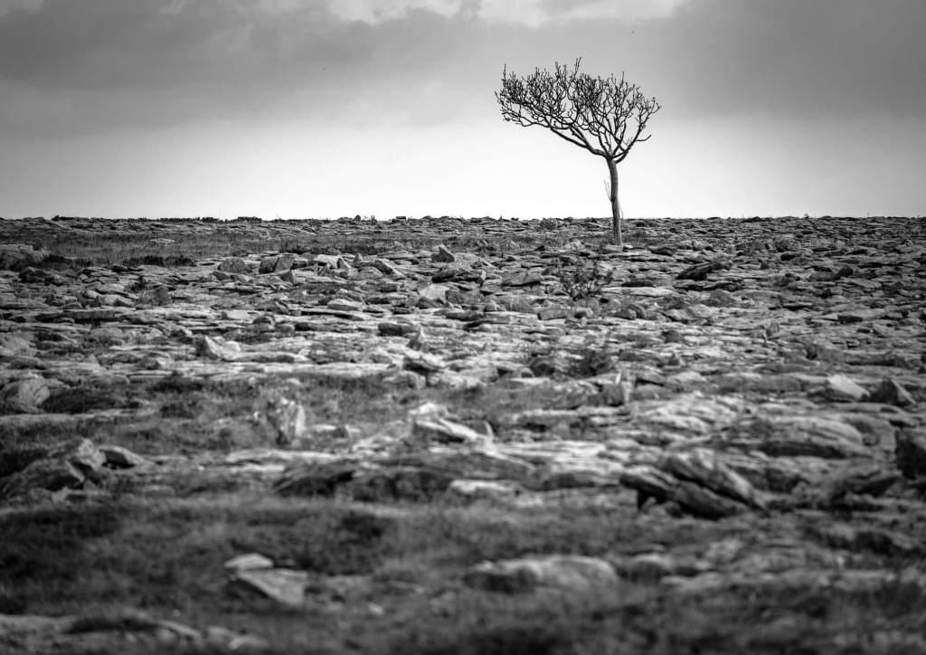 Lone Tree Burren Limestone Clare