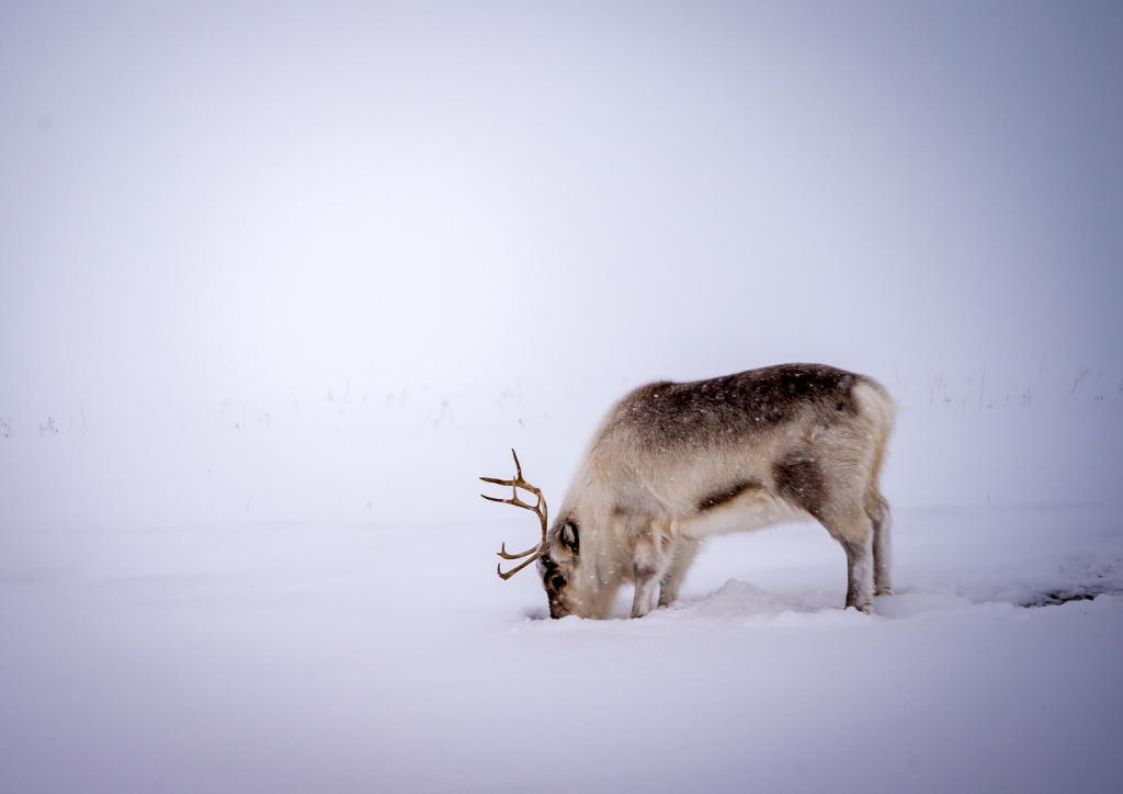 Spitsbergen Longyearbyen Reindeer.