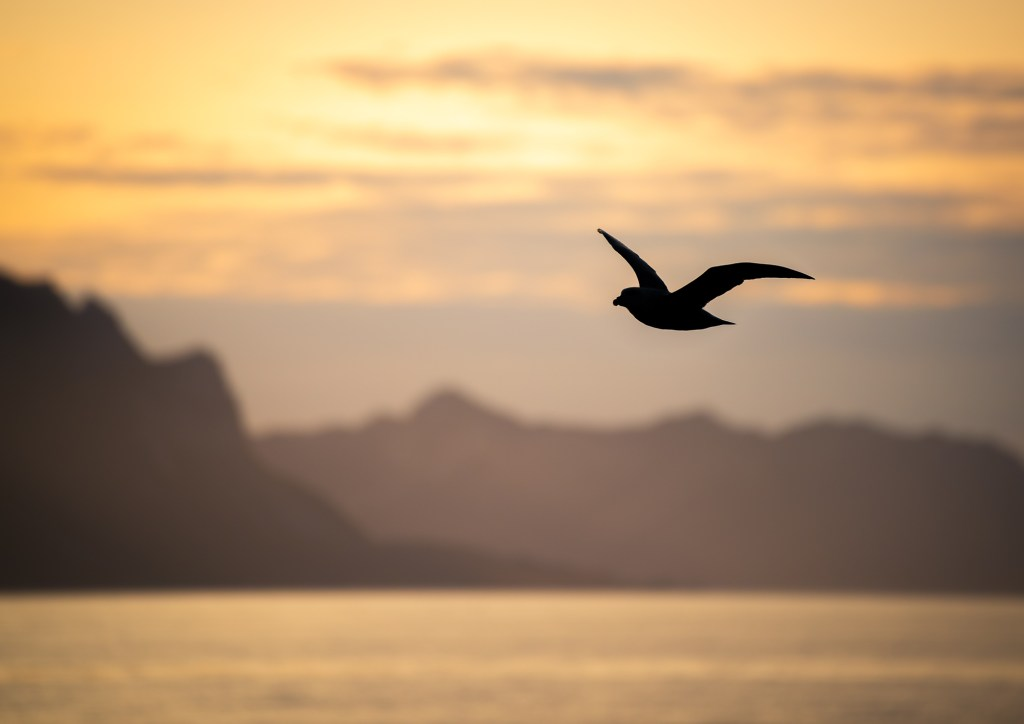 Svalbard Spitsbergen Golden Hour Bird