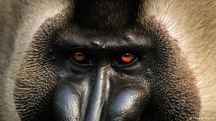 Salvar uno de los monos más llamativos y raros de África