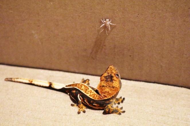 Gecko Feeding