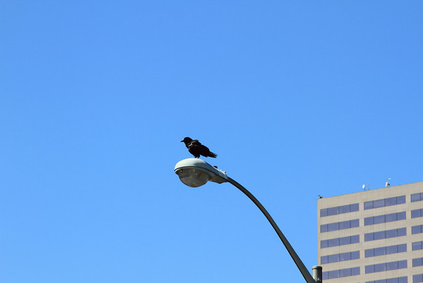 A better shot of him sitting scruffely on the light post. Click for full size image!