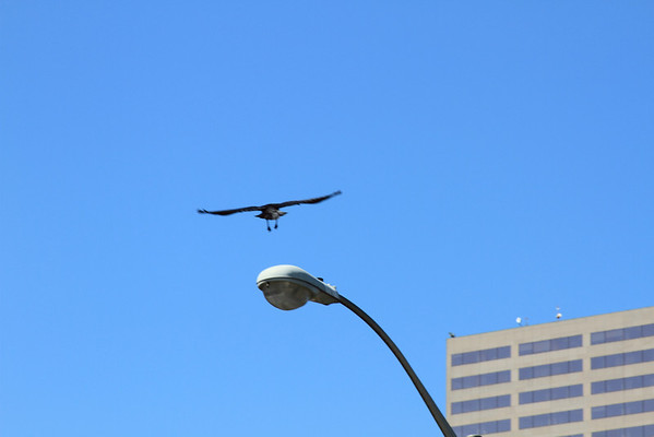 The Crow escaping to safety after the dive bomb attack! Click for full size image.