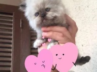 For sale female Himalayan chocolate