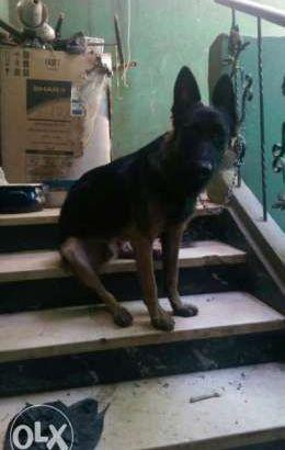 كلب جرمن